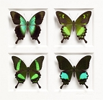 Pheromone by Christopher Marley Insect Art Gloss Swallowtails