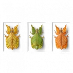 Pheromone by Christopher Marley Insect Art Walking Leaf Cycle